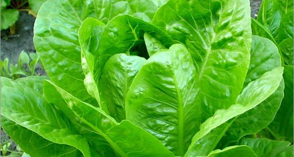 Восстанавливаем силы организма зеленым кочанным салатом