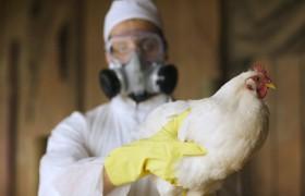 Пандемия птичьего гриппа не за горами: осталось 5 мутаций