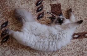 Состояние кошки в период течки