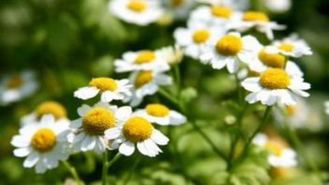 Лекарственные травы помогут поднять иммунитет