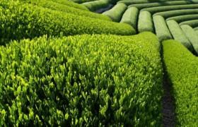 Зеленый чай лечит свиной грипп