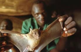 Летучие мыши – распространители Эболы