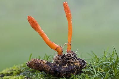 Удивительный гриб Кордицепс