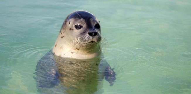 В распространении туберкулеза оказались виноваты тюлени