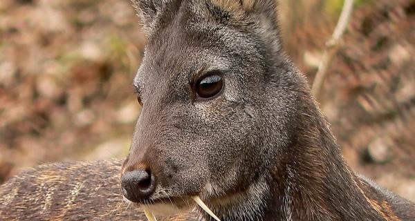 Кабарга — ценный олень