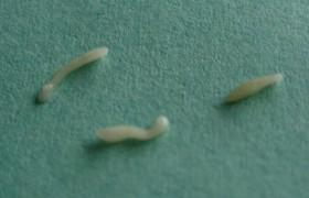 Bactefort – эффективное лечение от глистов и других паразитов