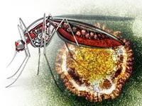 Вирус Зика может вызывать развитие острого рассеянного энцефаломиелита