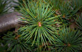 «Царский кедр с живицей» — масло для эффективного лечения многих заболеваний и очистки организма