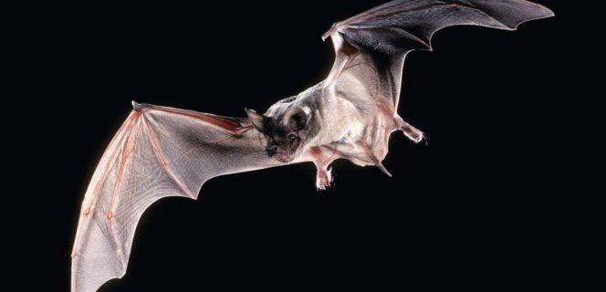 45 млн лет назад летучие мыши уже болели лейкозами