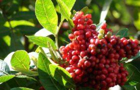 Бразильский перец – альтернатива мощным антибиотикам