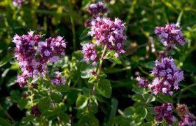 Лекарственные растения: Душица обыкновенная