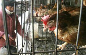 Новый случай заражения птичьим гриппом зафиксирован в Китае