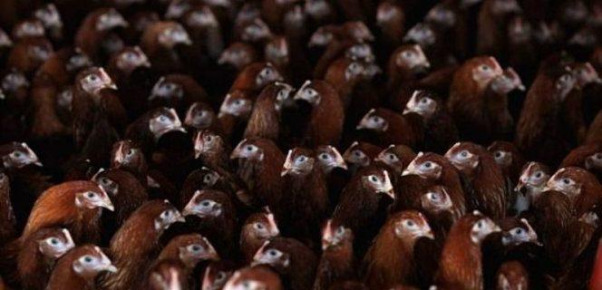 Три мутации могут сделать птичий грипп убийственным