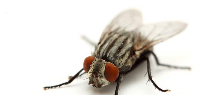 Ученые: мухи – переносчики сотен болезней