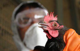 В двух районах Курской области ввели карантин из-за вспышки птичьего гриппа