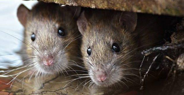 Опасная инфекция, распространяемая крысами, достигла рекордных уровней в Англии