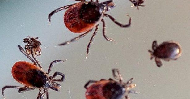 Более трёх тысяч человек на Кубани пострадали от укусов клещей в этом году