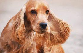Порода собаки Английский кокер-спаниель — обзор, история