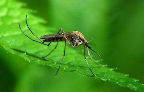 В чем опасность комариной слюны