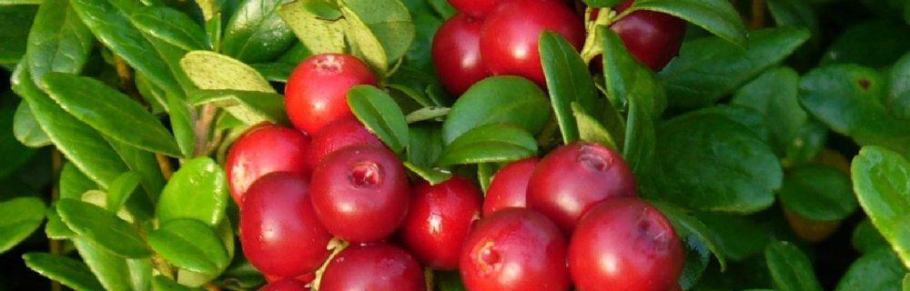 Эта ягода способна заменить антибиотики