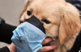 Собачий грипп может стать новой эпидемией