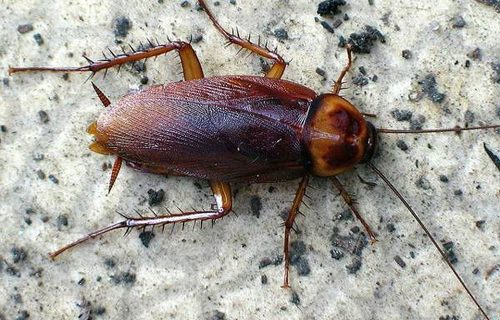 Способы и меры борьбы с тараканами