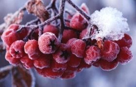 Эти ягоды помогут укрепить иммунитет в зимние месяцы
