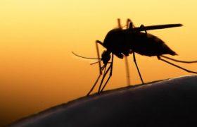 Трансгенный грибок уничтожил 99% малярийных москитов