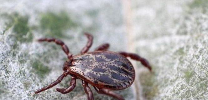 Клещевой энцефалит: как не умереть от укуса клеща?