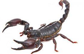 Яд скорпиона поможет лечить инфекции
