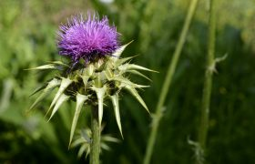 Растение оказалось эффективным против гепатита С