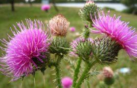 Открытие: активный компонент растения расторопша эффективен в борьбе с гепатитом С