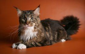 Выбираем котёнка породы мейн-кун