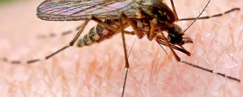 Комары могут заразить смертельной болезнью