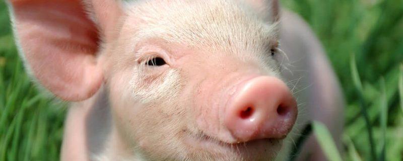 Южная Корея подтверждает 6-й случай африканской чумы свиней