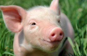 Китай сообщает о новом случае африканской чумы свиней в Нинся