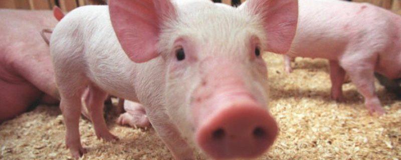 Новая вспышка африканской чумы свиней в КНР. На этот раз в Гуанси
