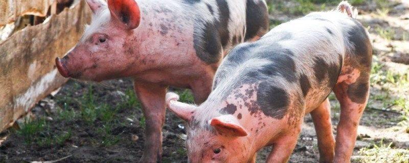 Туризм в опасности: Тайланд борется с проникновением африканской чумы свиней