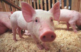В КНР стадо свиней может снизиться на 55% из-за смертельной чумы