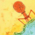 Пожирающие бактерии вирусы помогут алкоголикам