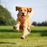 Собаки могут с 90-процентной точностью определять Sars-CoV-2 по запаху